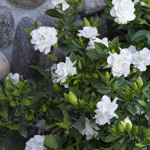 Gardenya Çiçeği Yağı