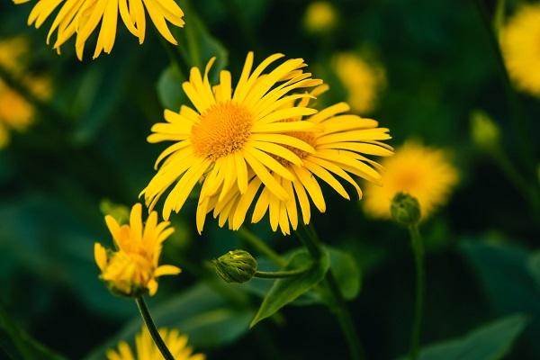 Arnika çiçeği