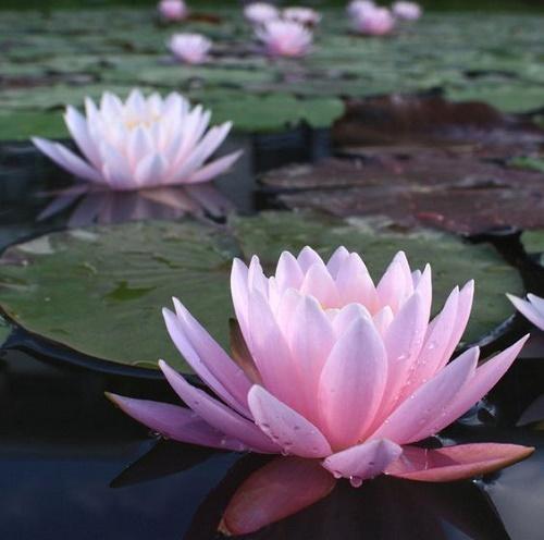 Nilüfer Çiçeği Yağı